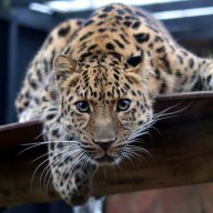 llleopard